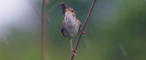 This Marsh Wren was the first photo I posted on the blog.