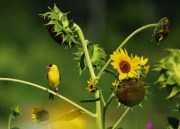 Goldfinch and Sunflowers