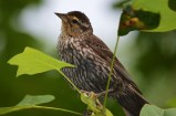 Red-Winged Blackbird, Female