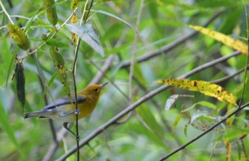 This Prothonotary Warbler photo just seems well composed to me, plus I just love these beautiful little birds.