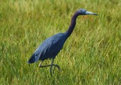 This is when I first started adjusting the lens speed and ISO setting. As a result, the Little Blue Heron just seemed to jump from the marsh grass.