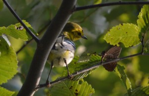 This Black-Throated Green Warbler just seems to be striking a demure pose.
