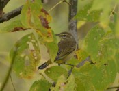 Palm Warbler, Fall Plumage