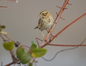 This Savannah Sparrow photo almost seems like a plate in an old-fashioned bird field guide. I think it's something about the plain background.