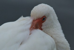 This White Ibis close-up showed such detail.