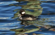 Lady Bufflehead