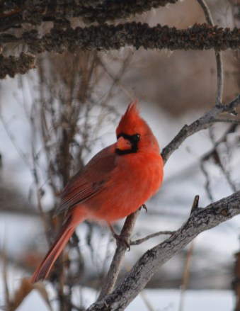 Northern Cardinal in the winter
