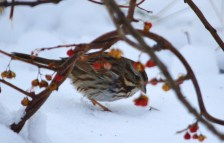 Song Sparrow in a tangle of Bittersweet