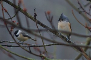 Tufted Titmouse and Carolina Chickadee