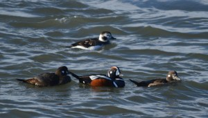 Harlequin Duck with two females and Longtails
