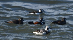 Male Harlequin with two females and two female Longtails.