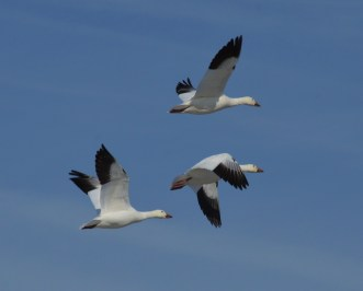 I love the details on these Snow Geese.