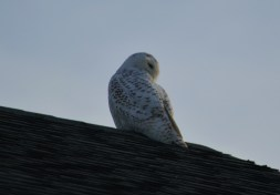 It's not a great photo, but it's such a great bird!