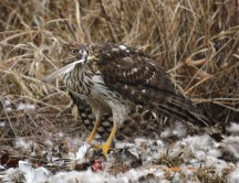 This Cooper's Hawk was so hungry. He just wouldn't leave his dinner for anything!
