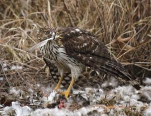 Cooper's Hawk devouring a Mallard