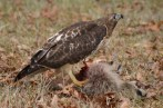 Red-Tailed Hawk feeding on a raccoon.
