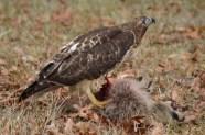 Red-Tailed Hawk feeding on a raccoon.