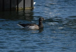 Brant Goose