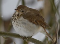 It was SO cold this day. The Hermit Thrush fluffed his feathers as much as he could to stay warm.