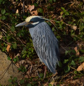Yelow-Crowned Night Heron