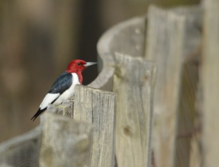 I love the way the fence curves around the Red-Headed Woodpecker.