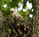 Baby Red-Shouldered Hawk