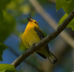 Just love those Prothonotary Warblers.