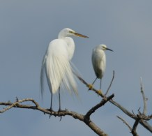 Great & Snowy Egret