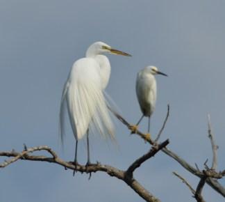 Great & Snowy Egret