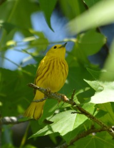 And the Yellow Warblers are pretty stunning, too.