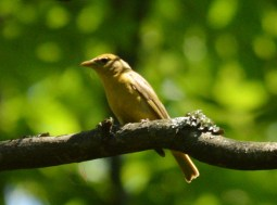 Summer Tanager, Female