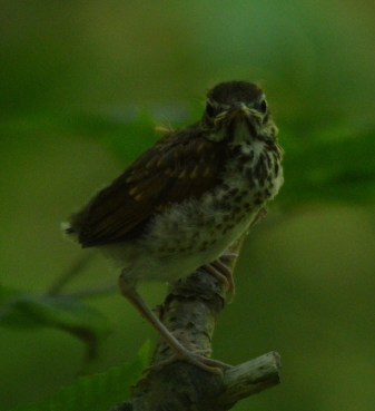 Fledgling Wood Thrush