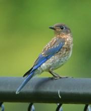 Juvenile Eastern Bluebird