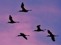 Avocets in Flight