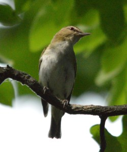 A couple of Red-Eyed Vireos were chasing each other along the river.