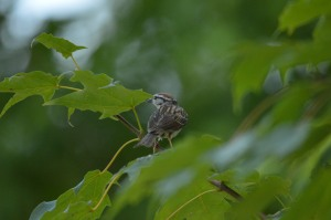 There are lots of Chipping Sparrows in the grassy areas of the park.