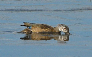 A Wood Duck forages in the shallow waters along Shearness Pool.