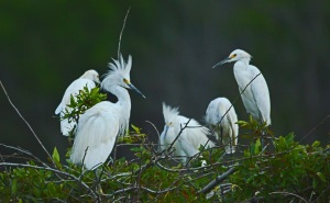 Snowy and Great Egrets perch from every available tree.