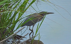 A juvenile Green Heron was doing his best to hide.