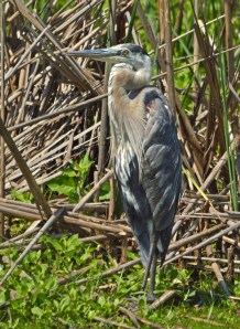 Of course, the Great Blue Herons think THEY own the place!