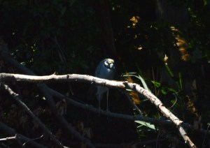 A Yellow-Crowned Night Heron hung WAY back in the shadows. This was the first Yellow-Crown I've seen at BHNWR.