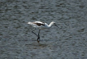 The Avocets are definitely losing their breeding plumage now.