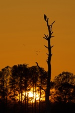Bald Eagle at sunset