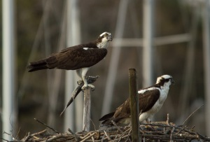 04 16 15 Ospreys Almshouse Creek 002