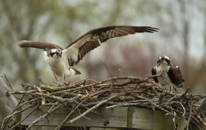 04 16 15 Ospreys Almshouse Creek 252