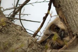 04 19 15 Great Horned Owlet 028