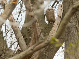 04 19 15 Great Horned Owlet 029