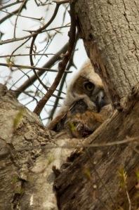 04 19 15 Great Horned Owlet 038