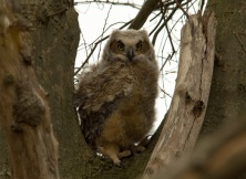 04 19 15 Great Horned Owlet 061