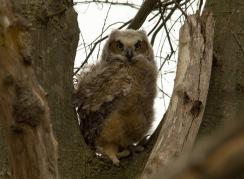 04 19 15 Great Horned Owlet 061